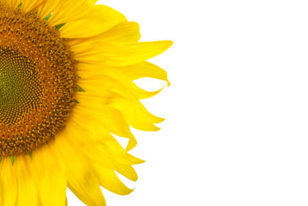more than quarter Sunflower on white background Stock Photo - 18511314