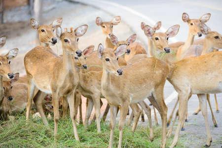 Group of deer feeding some grass but looking something strange same spot at same time.