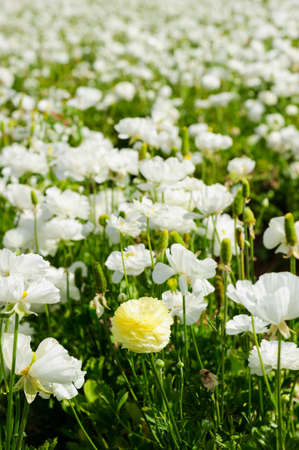 California flower fields white flowers farm stock photo picture california flower fields white flowers farm stock photo 92128318 mightylinksfo