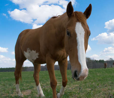 Freckles the horse Banco de Imagens
