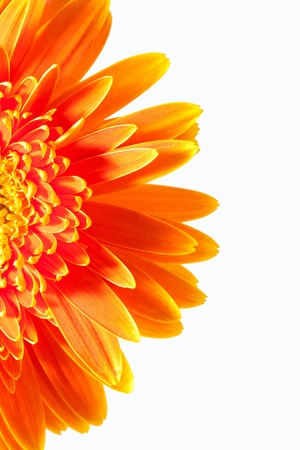gerber: Gerbera Stock Photo