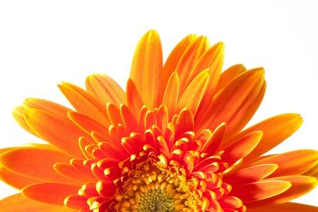 gerber flowers isolated on: Gerbera Stock Photo