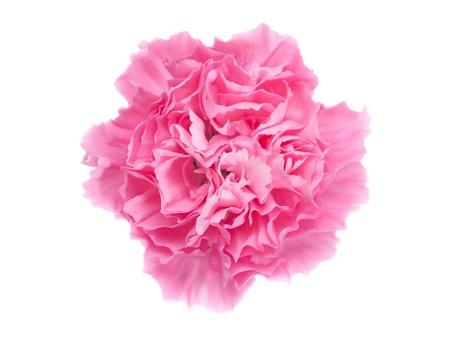 carnation: Carnation