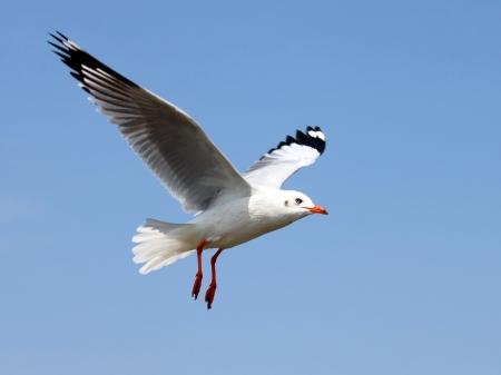 pajaros volando: Gaviota