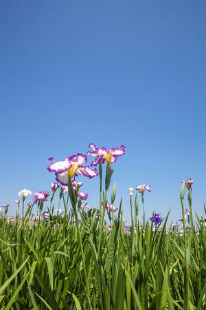 Japanese iris flower Stock Photo