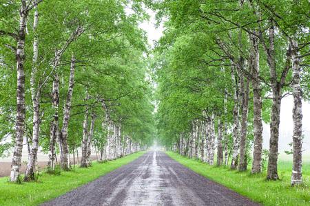 Birch tree-lined 写真素材