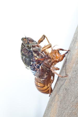 molting: cicada