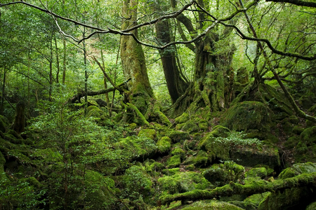 forest in Yakushima island
