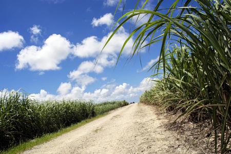 biomasa: Campo de caña de azúcar