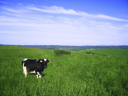 Milk cow 写真素材