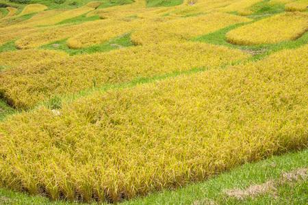 Ear Rice