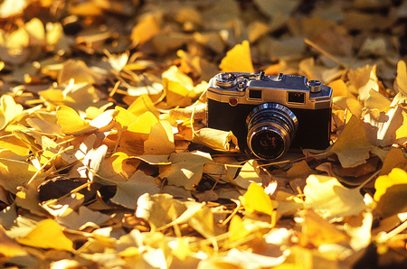 Camera and Leaves of ginkgo biloba