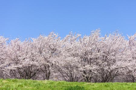 桜と大草原