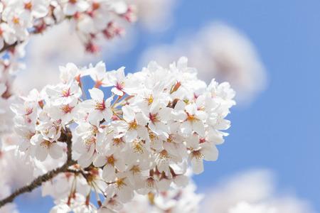 桜 写真素材 - 100618003