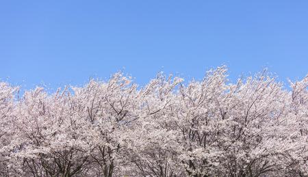 Cherry tree 写真素材 - 100330966