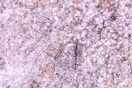 Cherry blossom 写真素材 - 100362375