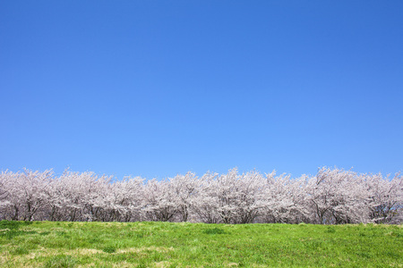 Cherry tree and Prairie