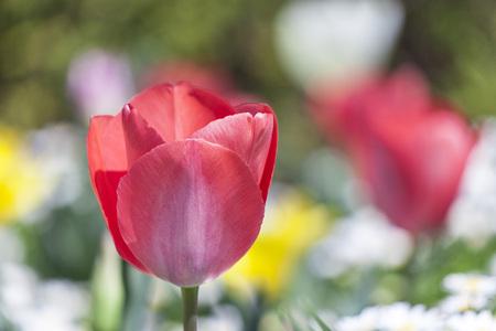 チューリップの花 写真素材 - 101066767