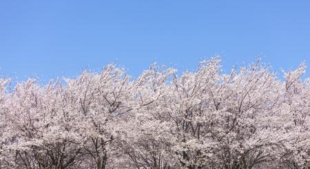 Cherry tree 写真素材