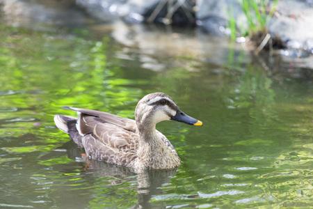 Duck 写真素材