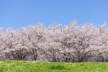 Cherry tree and Prairie 写真素材 - 101557007