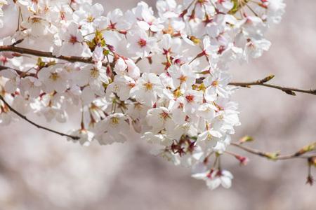 桜 写真素材 - 101666649