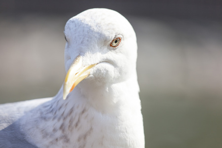 Seagull closeup photo