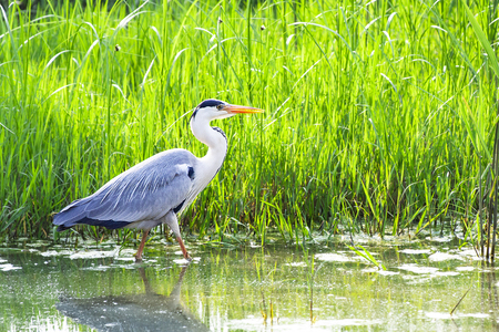 Grey heron 写真素材