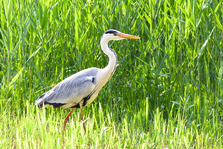 Grey heron in the farm