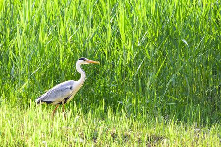 Gray heron 写真素材