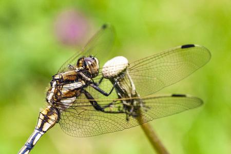 蜻蛉 写真素材 - 107484039