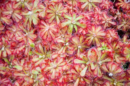 Sundew plant Stock Photo