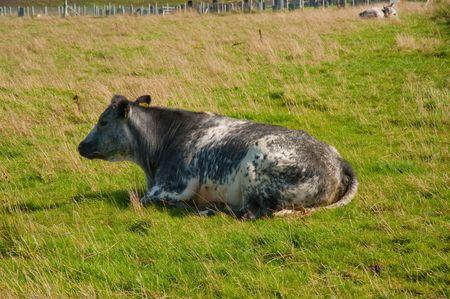 Cow in an Isle of Skye field Stock Photo