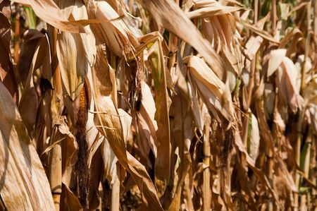 Dried corn stalks Stock Photo