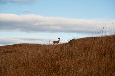 jura: Deer on Jura hillside