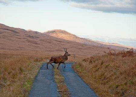 jura: Deer crossing road on Jura