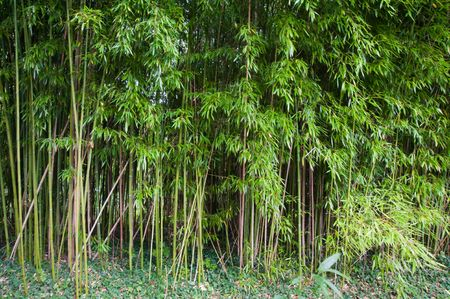 Bamboo in Claude Monet's garden in Giverny France Stock Photo - 7105555