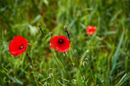 Poppy flowers Stock Photo - 7214408