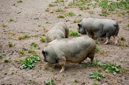 Pigs at Guedelon castle, France Stock Photo