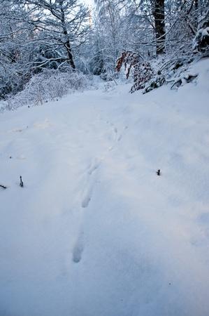 animal tracks: Animale tracce nella neve Archivio Fotografico