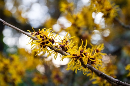 Chinese witch hazel photo