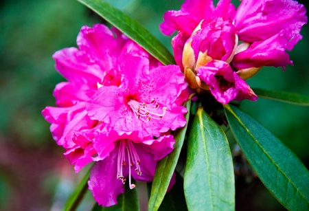 Rhododendron Stock Photo - 13584479