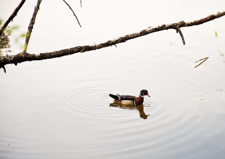 Duck floating in a pond