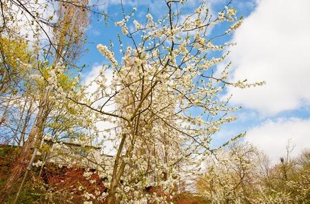 Springtime cherry blossoms Stock Photo - 13719062