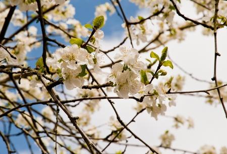Springtime cherry blossoms Stock Photo - 13719057