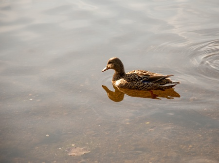 Duck floating in a pond Stock Photo - 13719065