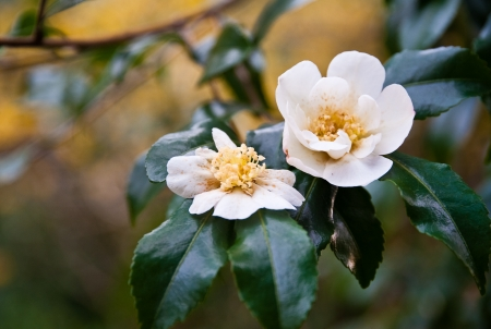 White camellia flower and leaves