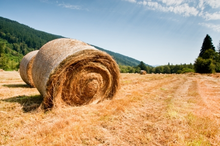 harvests: Bales of hay in a field