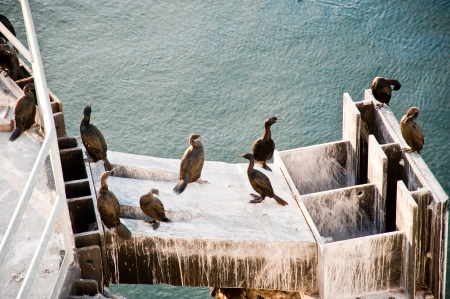 Cormorants at a ferry dock Stock Photo - 17082523