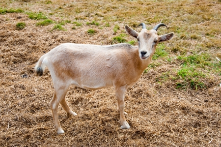 Goat on a farm Stock Photo - 17724635